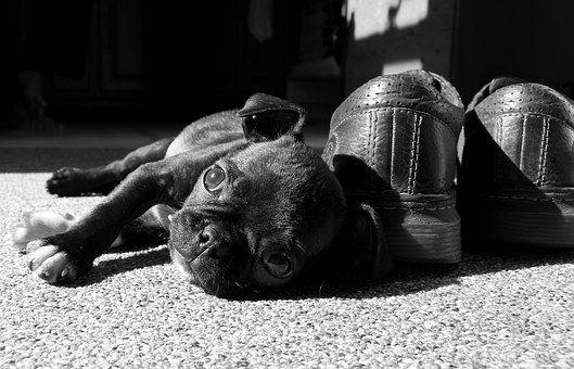 Pug, Boston Terrier, Cute, Puppy