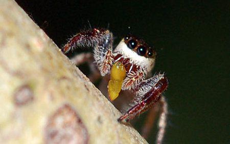 araña Bagheera kiplingi, revolucionó la entomología al convertirse en la primera araña vegetariana de la cual se tiene registro. Habitando exclusivamente capullos de hojas de algunas regiones de América del Sur, ha rechazado la dieta carnívora y cuenta con una fuente de alimentos única: árboles de acacia.