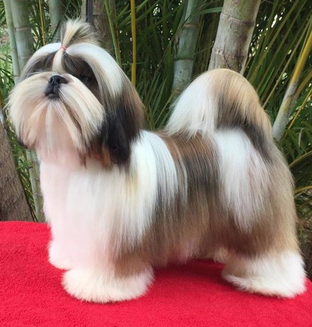 Top 10 Popular Shih Tzu Haircuts 30 Pictures Page 7 Of 10 The Paws Shih Tzu Haircuts Shih Tzu Grooming Shih Tzu Puppy