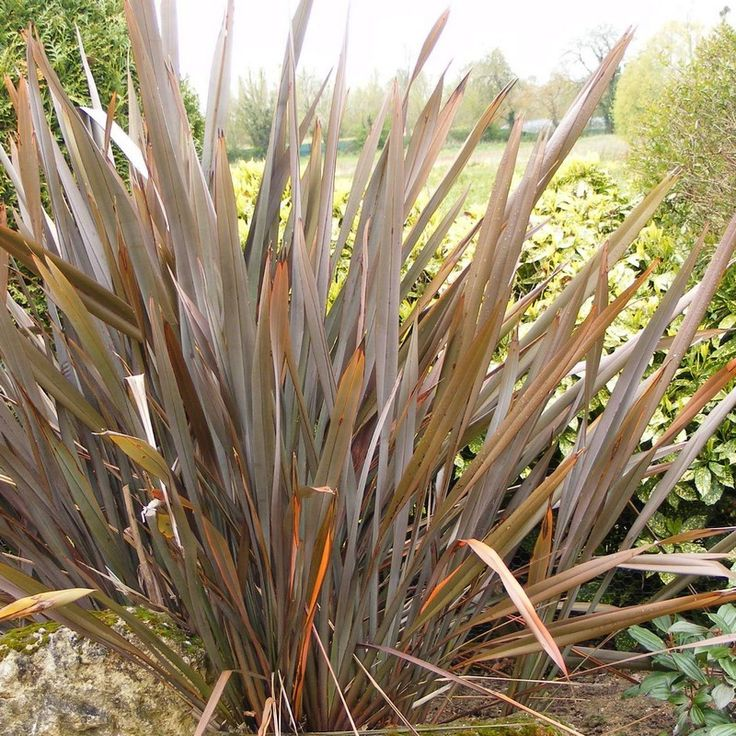 104 best phormium new zealand flax images on pinterest | new