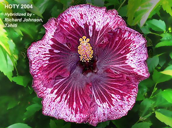HomeTahitan 'purple splendor'