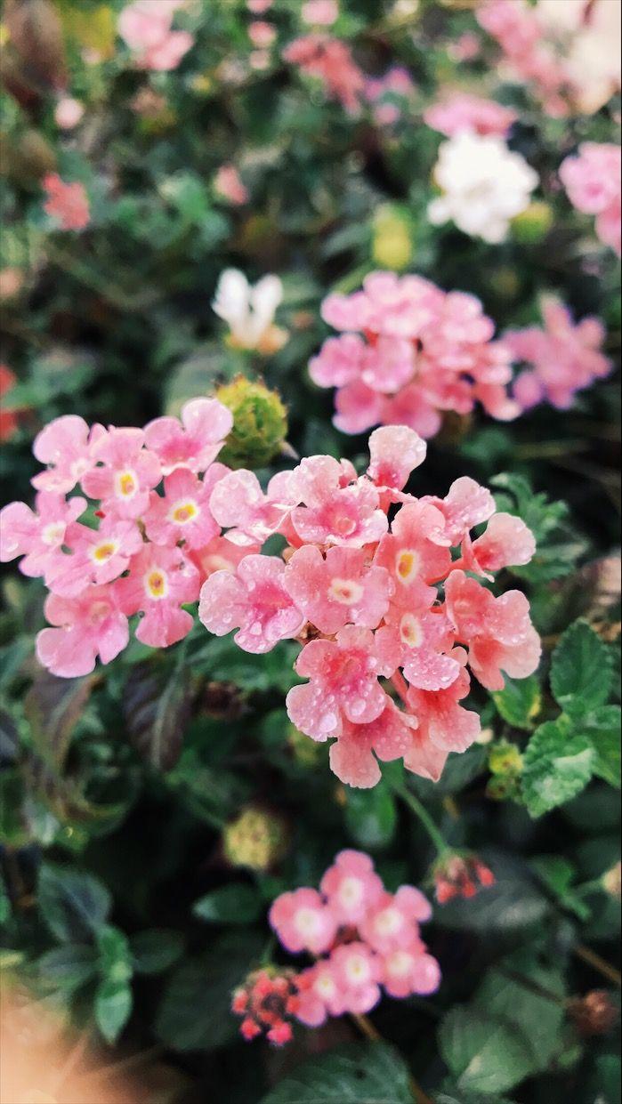 Pin By بثينة الكواري On ورد الربيع Rose Plants Flowers