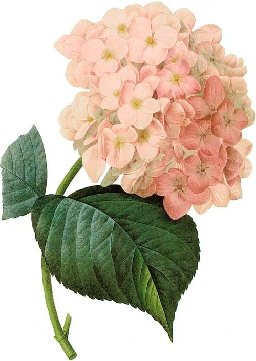 Picturing Plants and Flowers: Redouté: Hydrangea