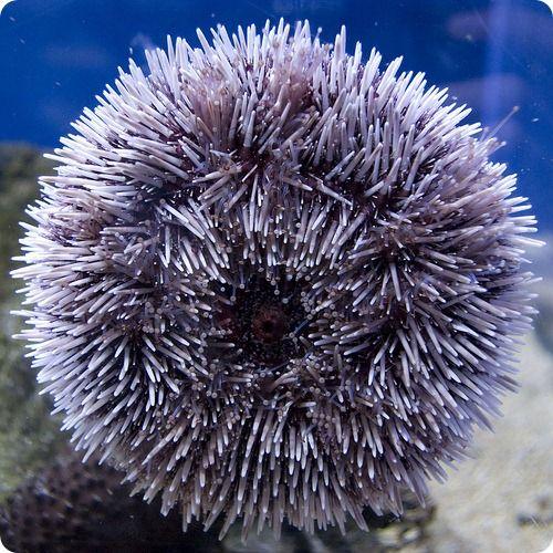Морской еж (лат. Echinoidea), фотографии морских ежей