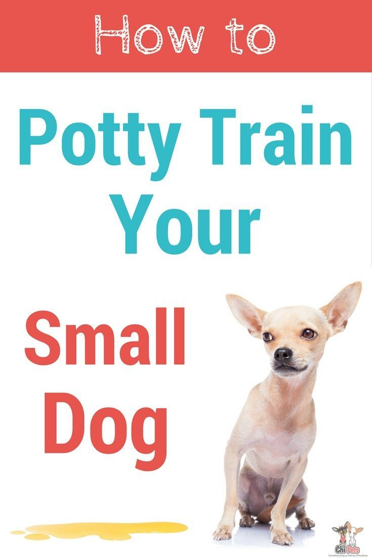 How To Potty Train Your Chihuahua Puppy Training Schedule