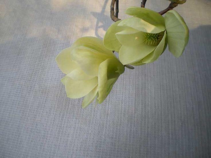 Magnolia cordata