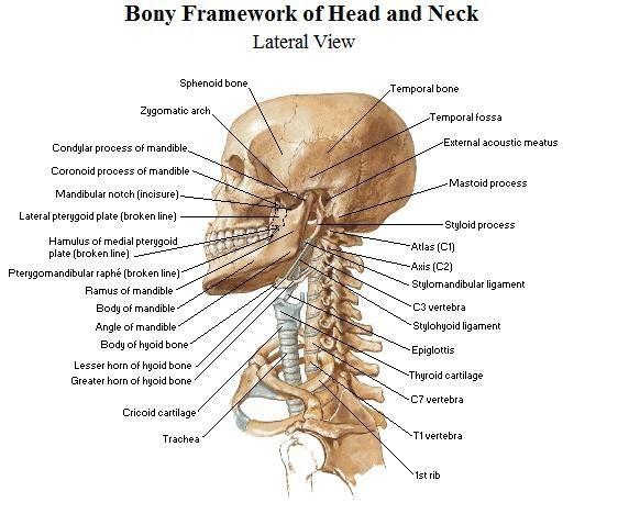 best 25+ bones of the head ideas on pinterest | the head, stiff, Skeleton