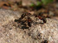As formigas são animais pertencentes à família Formicidae, com mais de 12.000 espécies distribuídas por todo o planeta, menos nas regiões polares, sendo considerada o grupo mais numeroso dentre os insetos.As formigas operárias chegam a viver até6 anos e a formiga rainha 15 anos.Elas são seres particularmente interessantes porque formam ...