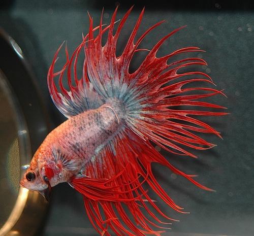 amazing freshwater aquarium fish | Tropical fish | Pinterest