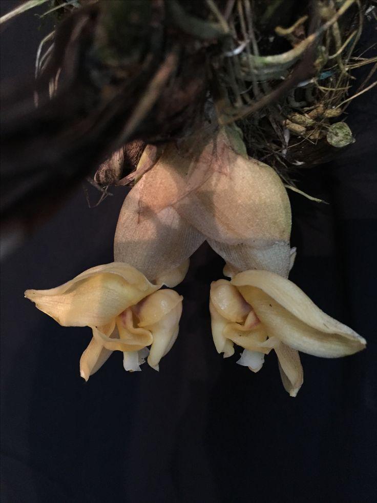 Orquídea Stanhopea Annulata