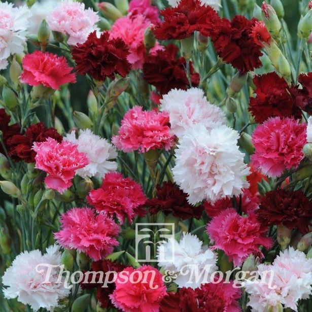 Graines de Dianthus plumarius Sonata - Oeillet mignardise double en mélange rose