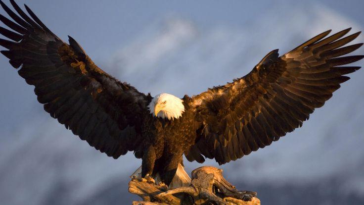 de Amerikaanse Arend, een documentaire van een uur duurtijd de Amerikaanse arend, de nationale vogel van Amerika, een mooie documentaire van deze prachtige roofvogel De Amerikaanse arend is een vogel …