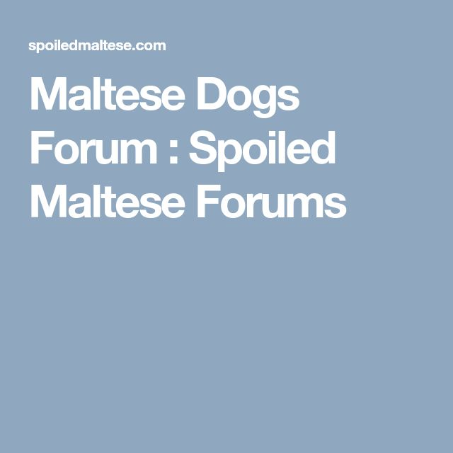 Maltese Dogs Forum : Spoiled Maltese Forums