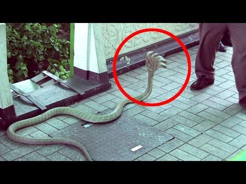 Five Headed Snake Found - Real or Fake ?
