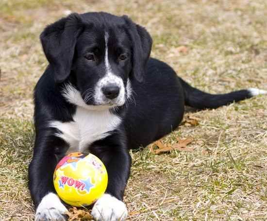 Borador - Border Collie/Lab...now thats a Digby if ever I saw one!!