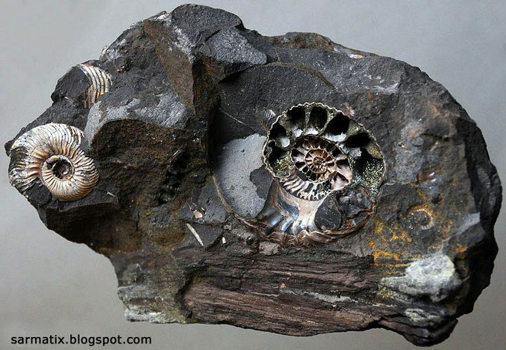 Ammonites and petrified wood in siderite from Łuków, Poland. They come from from classical and now not available Polish locality in Łuków in Eastern Poland (now this place is a nature reserve). They are from Middle Jurassic, dinosaurs in bloom;)
