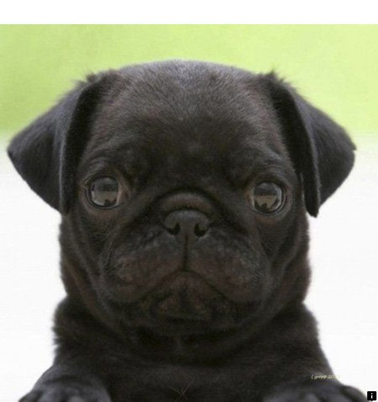 Read More About Black Pug Puppies For Sale Near Me Simply Click