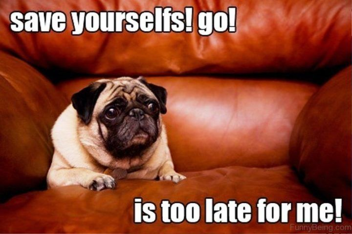 101 Lovable Pug Memes That Are Too Puggin Cute Pugs Funny Meme