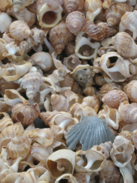 There are shells by the handful at the northern end of the ocean beach at Mangawhai Heads, Northland, New Zealand.