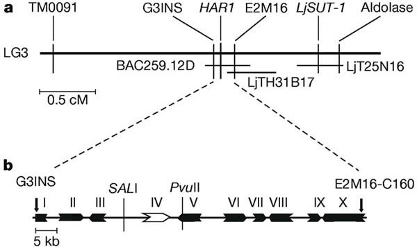 Figure 1: Map-based isolation of the L. japonicus HAR1 gene.a, A genetic linkage map of the region of HAR1 in linkage group 3. b, Physical map of the 72.5-kb region sequenced within BAC259.12D. Arrows indicate the positions of the E2M16 and G3INS markers. We carried out gene modelling using GENSCAN. Homology search of the predicted genes was performed by BLASTX. I, II and III, S-receptor kinase (T05754); IV, HAR1; V, putative transcription factor (AY084841); VI, hypothetical protein…