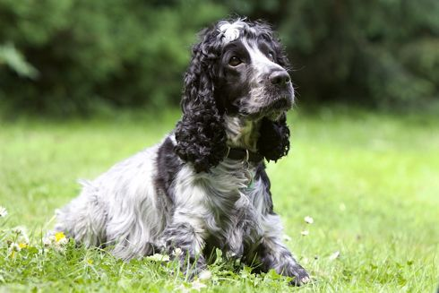 If you are considering gun dog breeding, this guide and tips are a great starting point for you!