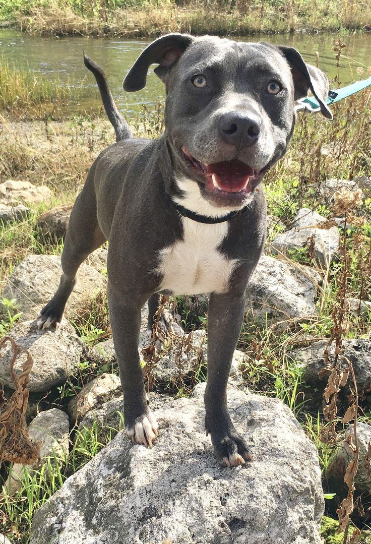 American Bulldog dog for Adoption in Fort Pierce, FL. ADN-557836 on PuppyFinder.com Gender: Male. Age: Young