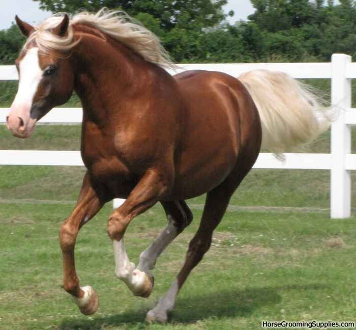Beautiful Arabian in chestnut with flaxen mane and tail