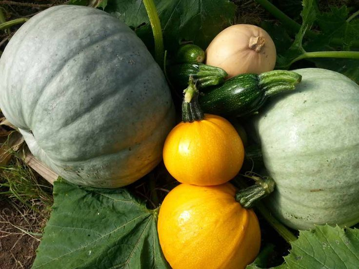 Crown Prince Squash Recipe