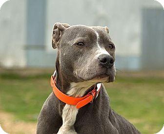 Magnolia, AR - Pit Bull Terrier. Meet Dova, a dog for adoption. http://www.adoptapet.com/pet/11046147-magnolia-arkansas-pit-bull-terrier