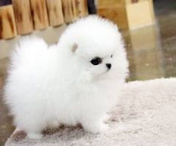pomeranian dogs   ... clara: Affectionate Teacup Pomeranian Puppies to offer free adoption
