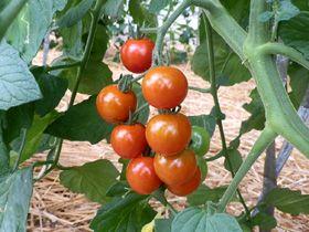ミニトマト栽培(育て方)/農業しよう!野菜栽培(育て方)