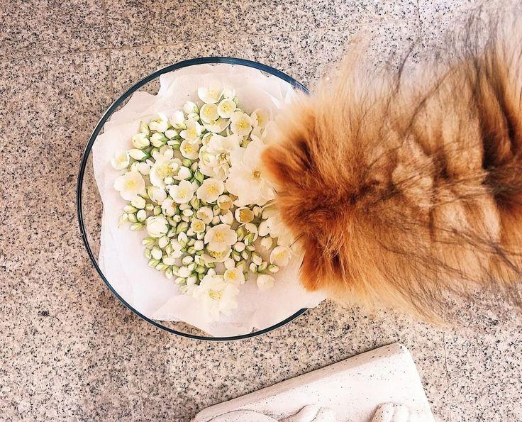 #sun #flower А вы знали что собирать Жасмин надо в с 4-6 утра?������ #жасмин#flowers #flowers#sun #sun#jasmine#thestreetnetwork#vscogirl#albumvk#saywhatgo#liketime#spring#moscow❤#goodday#Leo#verygoodday#puppy#pomeranian#������#шпицмини#puppylove#heppyday http://misstagram.com/ipost/1547604954926435090/?code=BV6MoHHBksS