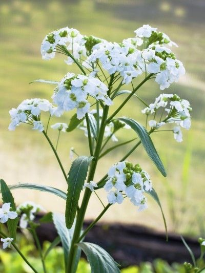 Horseradish Plant Has Flowers: Should You Cut Horseradish Flowers - Like its cousins, broccoli and radish, the horseradish plant has flowers; the question is, are horseradish flowers edible? If not, should you cut horseradish flowers? The following article will try and answer these questions. Click here to learn more.