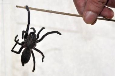 Mueren 2 por picaduras de araña en la India, cunde el pánico