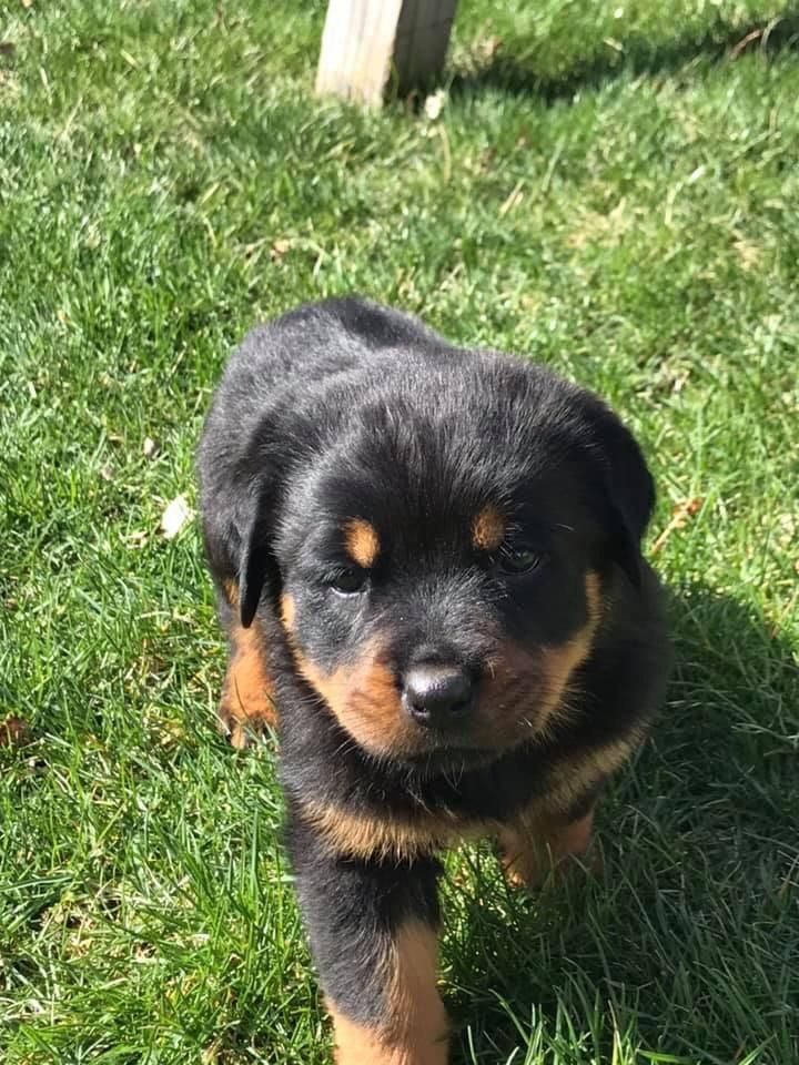 Rottweiler Mix Breeds Rottweiler Mix Rottweiler Cute Dogs Breeds