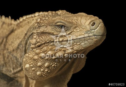 http://www.dollarphotoclub.com/stock-photo/Cuban iguana/46709823 Dollar Photo Club millions of stock images for $1 each