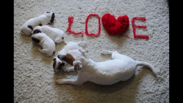 Щенки Джек Рассел Терьера Puppies Jack Russell Terrier