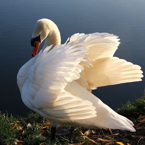 Swans .. BEAUTIFUL and GRACEFUL with a touch of FEISTY !!                                                                                                                                                      More
