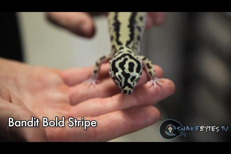 Bandit bold stripe
