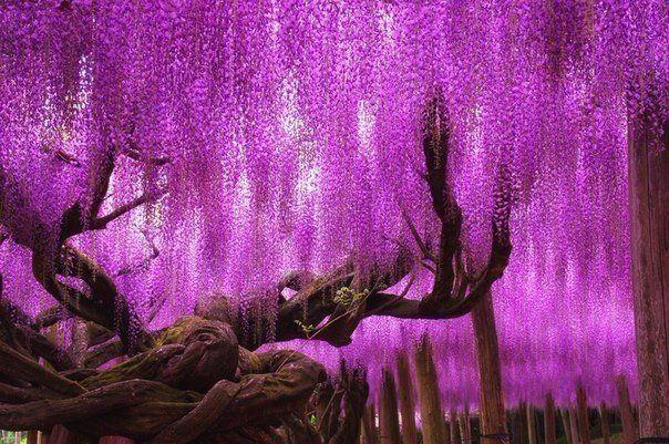 150-летнее дерево глицинии, Япония!. Это дерево считается волшебным, сюда приходят загадывать желания, ставь класс и у тебя в скором времени обязательно сбудется одно желание! #traveljay #интересныефакты #путешествия #туризм #отдых #туры #виды #достопримечательности #поездка #отпуск
