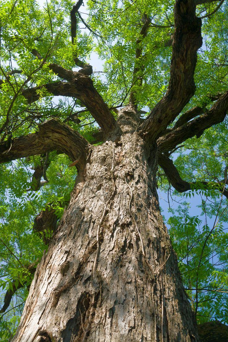32 best Trees for 6b Bardstown KY images on Pinterest | Blue ash ...