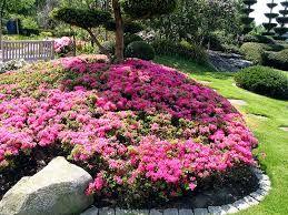 Výsledek obrázku pro azalea japonica canzonetta