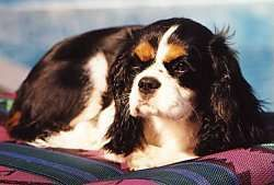 Jewel - Our dog!  Cavalier King Charles Spaniel Puppy Dogs