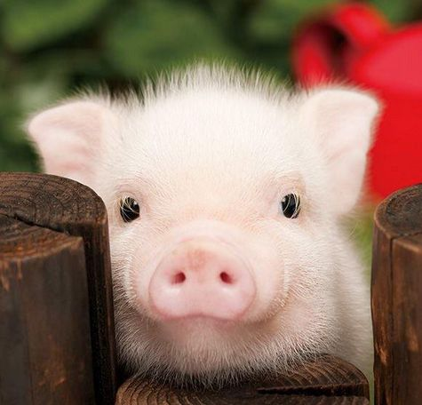 cute pigs - Google Search