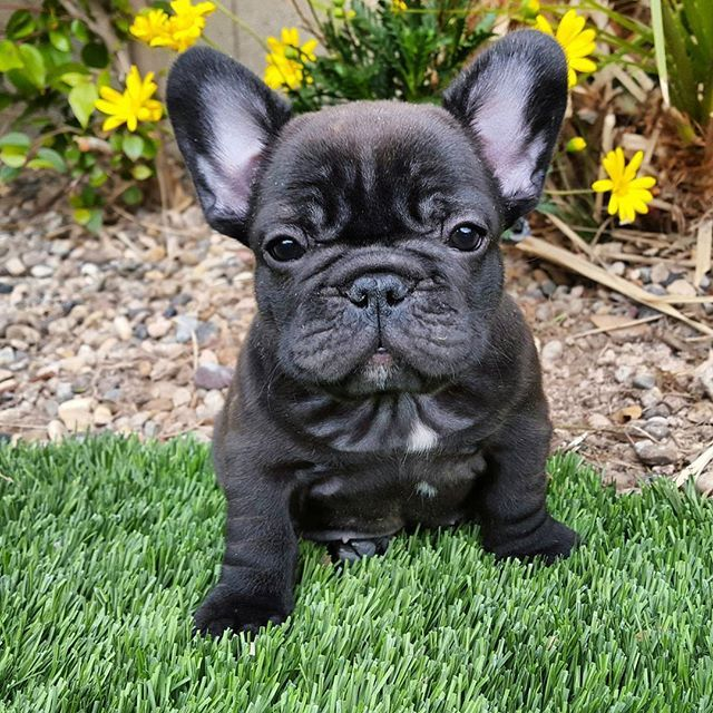 Shorty, adorable French Bulldog Puppy