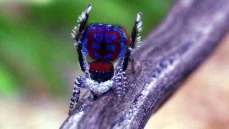 Die wohl schönsten Spinnen der Welt: Niedliche Krabbler sollen Arachnophobie heilen