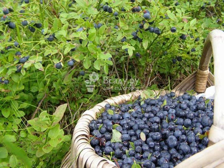 Выращивание черники на даче: наиболее подходящие сорта