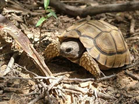 Chaco tortoise