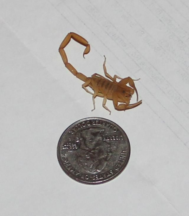 We Have Scorpions in Arizona: Deal With It!
