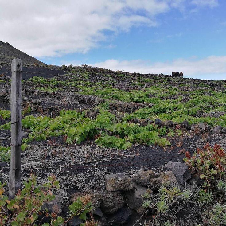 #Fuencaliente. Tierra de volcanes y viñas entre otros atractivos. Increíble que este paisaje esté a pocos metros del volcán Teneguia. #LaPalma #rinconesdecanarias #lapalmaislabonita #Canarias #canaryislands